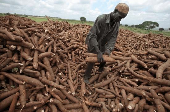 Cassava agriculture in Nigeria
